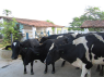 Farm for sale in Campina Grande - Cattle close-up