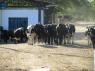 Farm for sale in Campina Grande - Cattle walking from the milking station