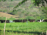 Farm for sale in Campina Grande - Cattle going out to graze