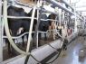 Farm for sale in Campina Grande - Cows being milked